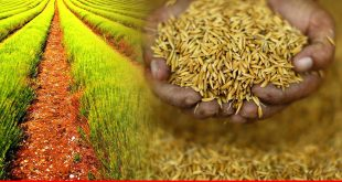 Rice exports keep declining but effort on way to bring precious crop back to glory