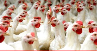 Poultry industry --- meeting the protein needs of the people