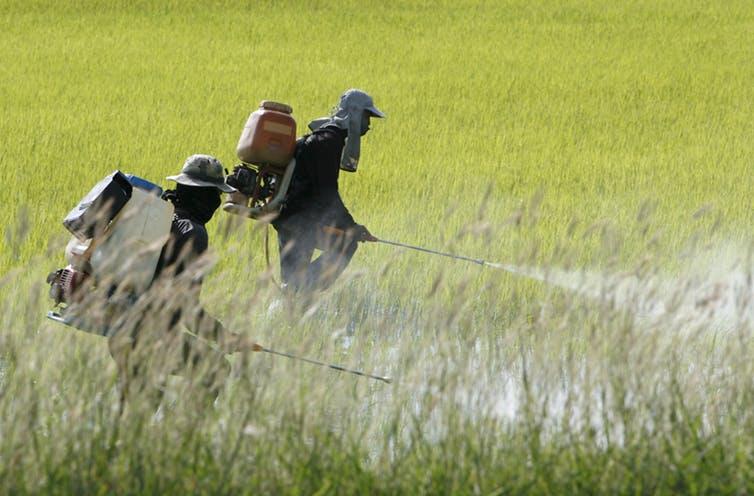 Rice farmers in Thailand