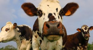 Scientists have a new suggestion to create more climate-friendly cows